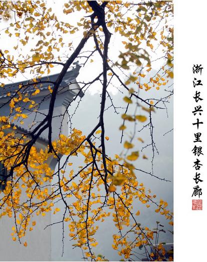 扇形叶片的银杏树从疏疏落落到成林成片,沿途落下的银杏树叶铺就了一